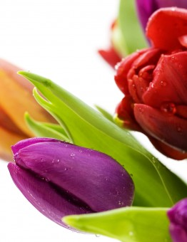 Nature_Flowers_Bouquet_from_multi-colored_tulips_036577_